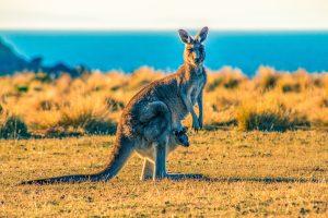 kangaroo - wildlife